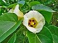 Thespesia populnea (Flowers).jpg