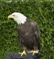 This is Cheyenne, a seven-year-old female bald eagle, who appeared as part of a presentation by HawkQuest, a nonprofit environmental-education organization that employs birds of prey such as hawks, LCCN2015633475.tif