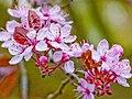 Three Horseshoes Purple Leaf Plum Blossom (Prunus Cerasifera Nigra) - geograph.org.uk - 1229944.jpg