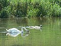 Throop, swan and cygnets on the Stour - geograph.org.uk - 836459.jpg