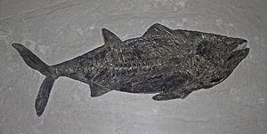 Thunnus - Fossil specimen