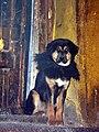 Tibetan Mastiff (2642055070).jpg