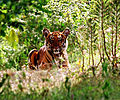 Tiger 3 by N A Nazeer.jpg