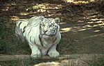 Tigru alb.jpg