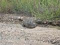 Tortoise (196150577).jpg