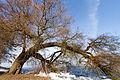 Tree Bend (5496619853).jpg