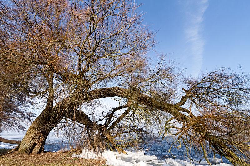 File:Tree Bend (5496619853).jpg