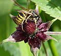 Tree Wasp. Dolichovespula sylvestris on Marsh Cinquefoil. Potentilla palustris (38765049154).jpg