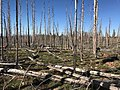 Tree planting in Ashley National Forest - 2017 02.jpg