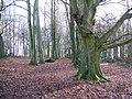 Trees in Heath Wood - geograph.org.uk - 650752.jpg
