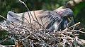 Tricolor heron on eggs by Bonnie Gruenberg.jpg