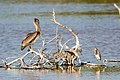 Tricolored heron and brown pelican (33195489662).jpg