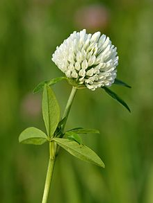 White Flowered Form With Insect Red Clover
