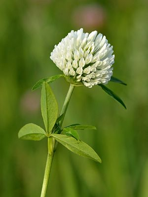 Trifolium pratense - White-flowered form
