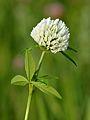 Trifolium pratense albiflorum - Keila.jpg