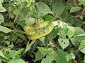 Trimeresurus macrolepis, large-scaled tree viper, large-scaled pitviper at Mannavan Shola, Anamudi Shola National Park, Kerala (13).jpg