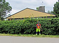 Trimming the hawthorn hedge - Orapihlaja-aidan tasoitus C IMG 9336 crop.jpg
