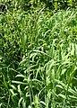 Trisetum flavescens kz03.jpg