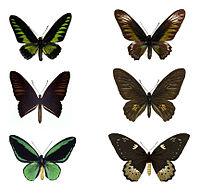 Trogonoptera Troides Ornithoptera.jpg