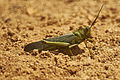 Tropidacris cristata MtPine.jpg