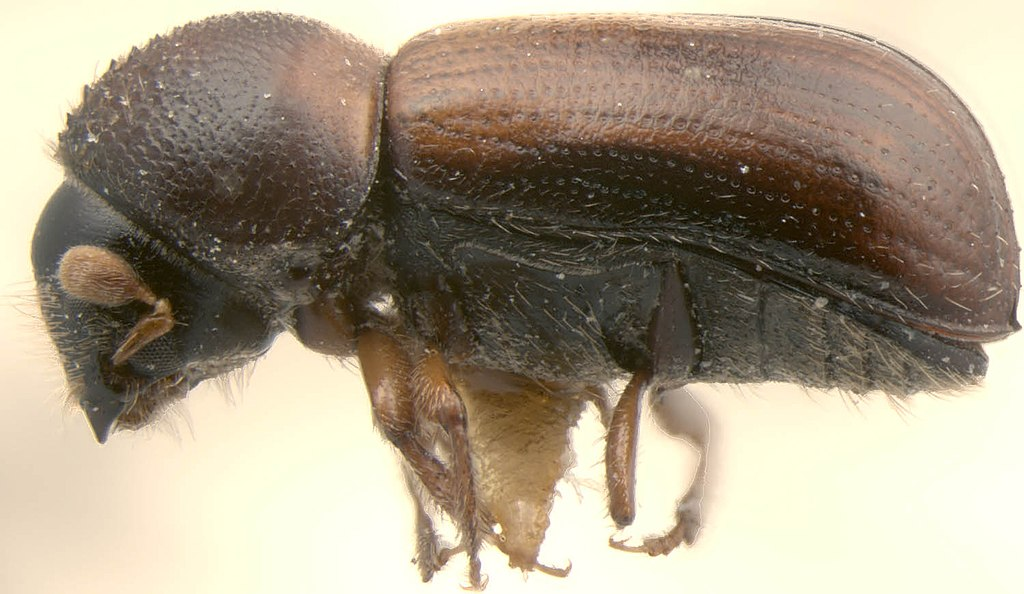 Trypodendron lineatum lateral