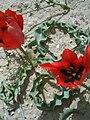 Tulipa agenensis in the Negev.jpg