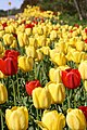 Tulips Mariehamn (Kenny McFly).jpg