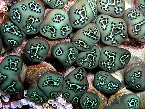Ascidiacea - A tunicate group from East Timor