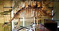 Tuojiangosaurus mount.jpg