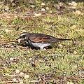 Turdus eunomus eating Melia azedarach.jpg
