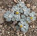 Turtleback Psathyrotes ramosissima small.jpg