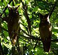 Two-owl-ecuador-snd.JPG