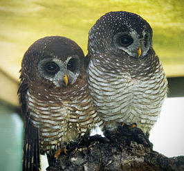 Two African Wood Owls (Strix woodfordii).jpg