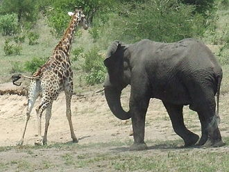 Musth - An African elephant chases a giraffe during musth.