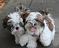 Two red and white haired shih tzu littermates.jpg