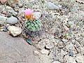 Uinta Basin Hookless Cactus (Sclerocatus wetlandicus) (16795787548).jpg