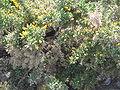 Ulex europaeus01.jpg