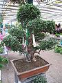 Ulmus bonsai (35-40 years).jpg