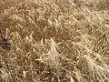 Un champ de blé.jpg