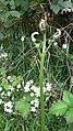 Unfurling fern on Cumber's Lane - geograph.org.uk - 1292520.jpg