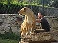 Uno de los leones del Zoológico Batán..jpg