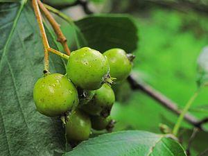 Sorbus franconica - unrippen fruits of Sorbus franconica