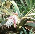 Ursulaea macvaughii BotGardBln11302010M.jpg