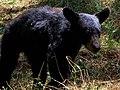 Ursus americanus eremicus.jpg