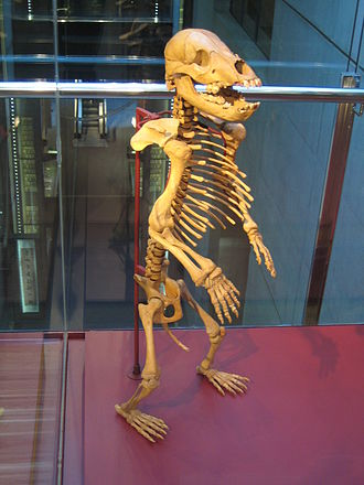 Cave bear - Standing skeleton of juvenile cave bear