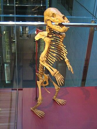 Cave bear - Standing skeleton of juvenile cave bear