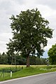 VÖ 38 Birnbaum CF9A6220.jpg