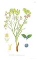 Vaccinium myrtillus (Billeder af nordens flora 1917ff., v1 141, BHL-39907) clean.png