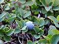Vaccinium uliginosum. Arandanera pruna (frutu).jpg