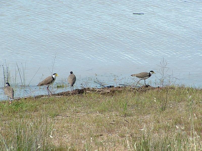 File:Vanellus miles novaehollandiae on the shoreline of Lake Albert.jpg